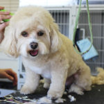 Come usare la tosatrice per tosare un cane?