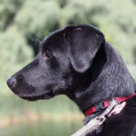 Il collare è pericoloso per il cane?