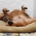 Perché i cani dormono a pancia in su?