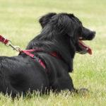 Pettorine per cani: quando e come utilizzarle