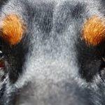Cataratta nei cani ecco come prevenirla e curarla