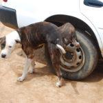 Incontinenza del cane: cause e rimedi