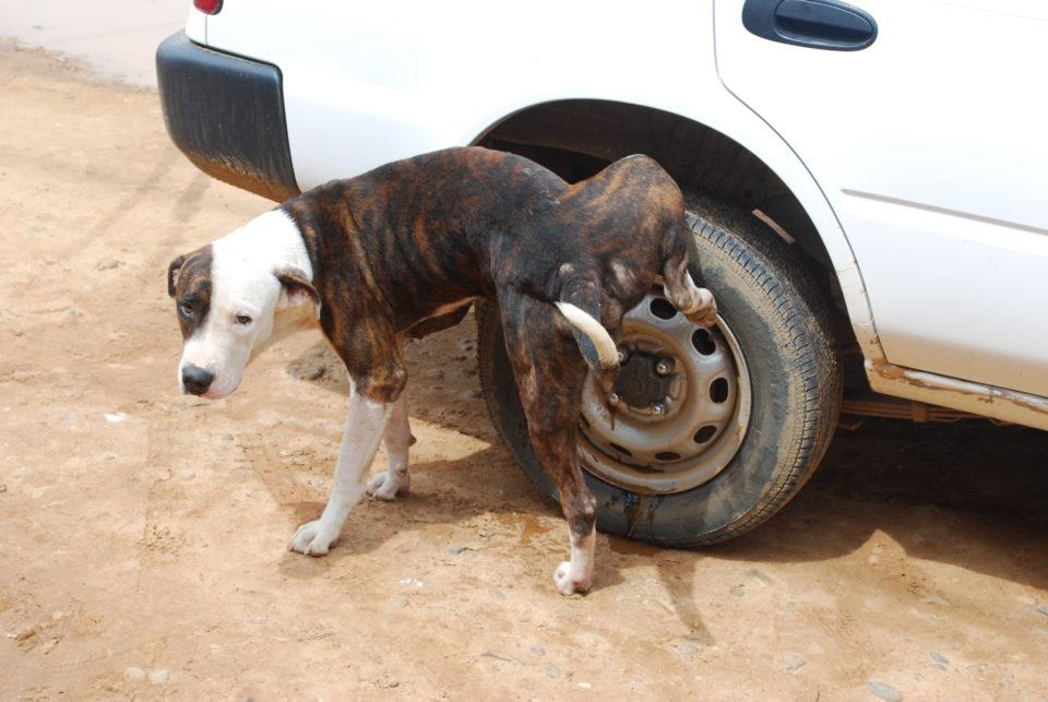 Come curare l'incontinenza urinaria del cane?