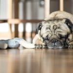Perché i cani tremano quando dormono?