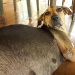 Alimentazione per cani in gravidanza