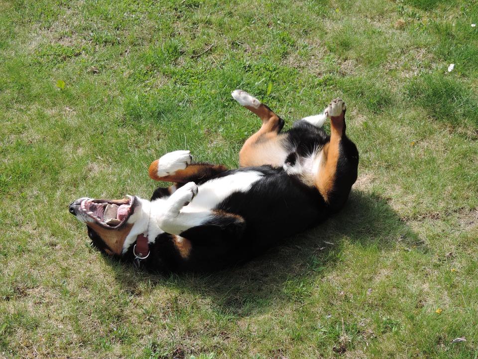 Come insegnare al cane a rotolare