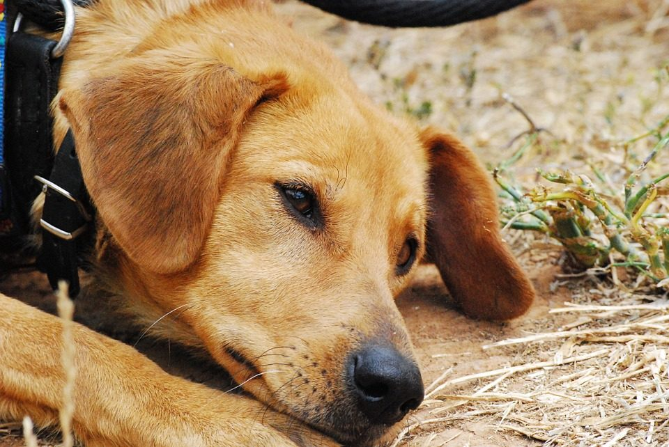 Come curare una ferita comune nel cane