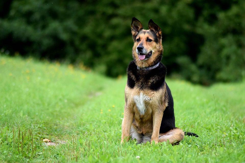 Come educare un cane con quattro comandi