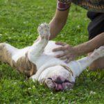 Perché i cani amano farsi grattare la pancia?