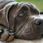 Sindrome di Shaker nel cane