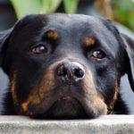 Sindrome di Wobbler nel cane