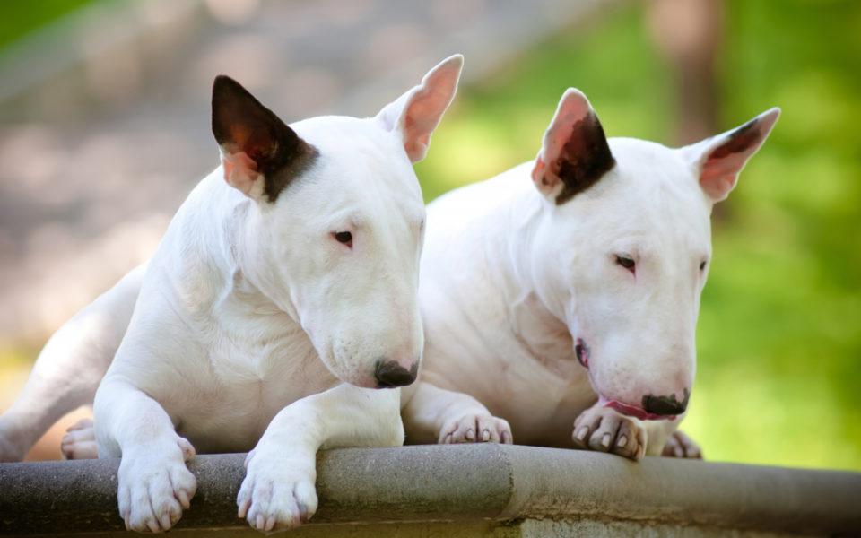 Razza Cane Bull Terrier