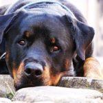 Cane Razza Rottweiler