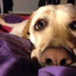 Perché il cane si intrufola sotto le coperte?