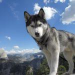 Come addestrare un Siberian Husky