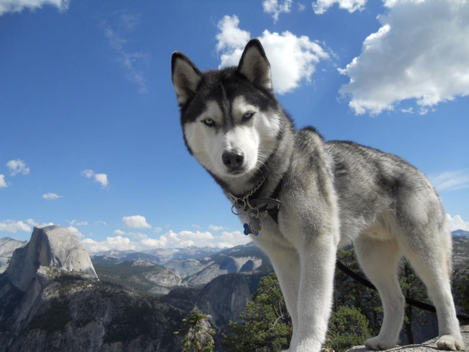 Addestrare ed educare un Siberian Husky