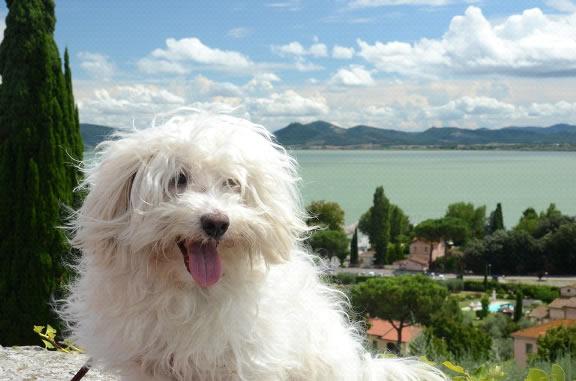 Bolognese Razza Del Cane Con Scheda Descrittiva Carattere Allevamento