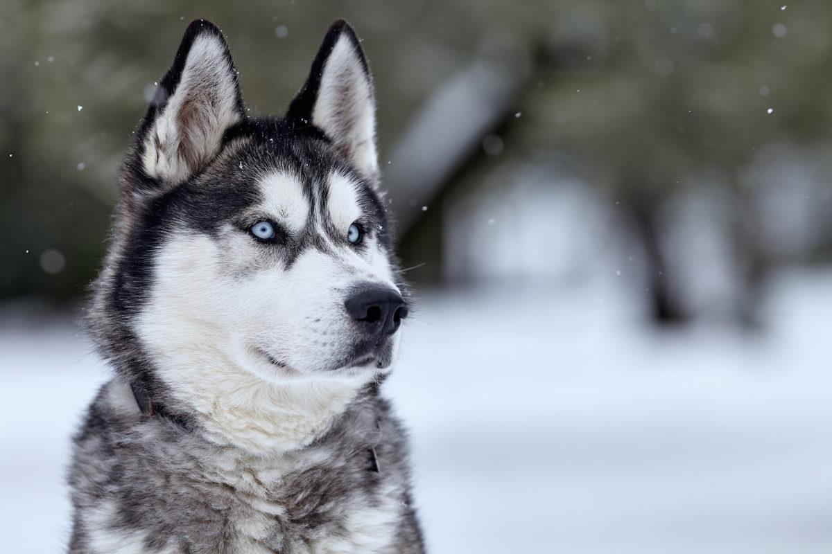Siberian Husky: Razza del Cane con scheda descrittiva ...