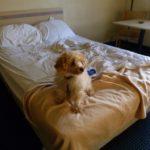 Cane che dorme nel letto, come impedirlo