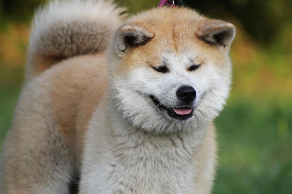 Akita: Razza del Cane con scheda descrittiva, carattere, allevamento