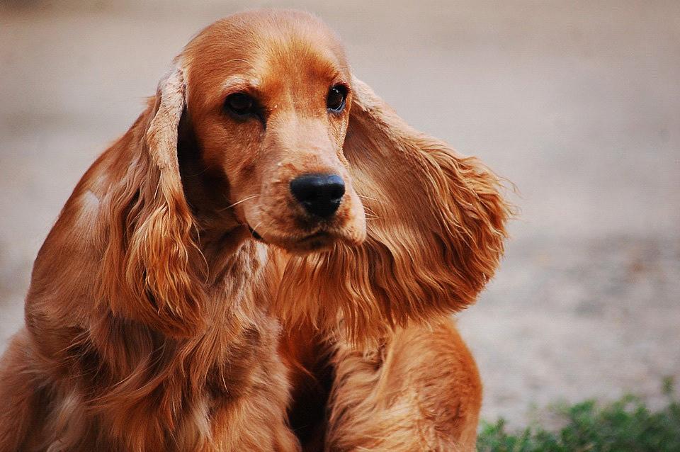 Cocker Spaniel: Razza del Cane con scheda descrittiva, carattere, allevamento