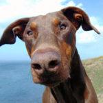 Dobermann: Razza del Cane con scheda descrittiva, carattere, allevamento