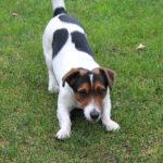 Jack Russell Terrier: Razza del Cane con scheda descrittiva, carattere, allevamento