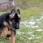 Addestramento pastore tedesco