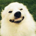 Perchè i cani sorridono? Sorridono perchè sono felici?