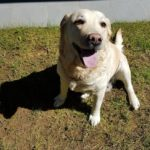 Althea, labrador, vaccinata e chippata cerca casa