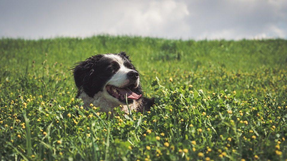 Perchè il cane mangia erba?