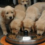 Dieta gluten free per il cane