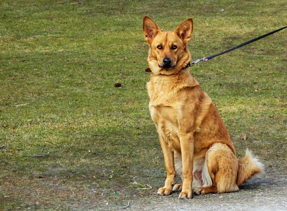Cane non vuole il guinzaglio