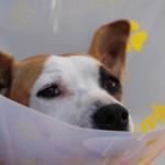 Sterilizzazione del cane