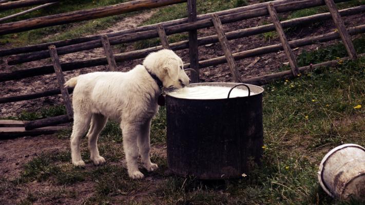 Cane può bere latte