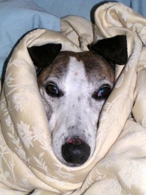 Febbre del cane