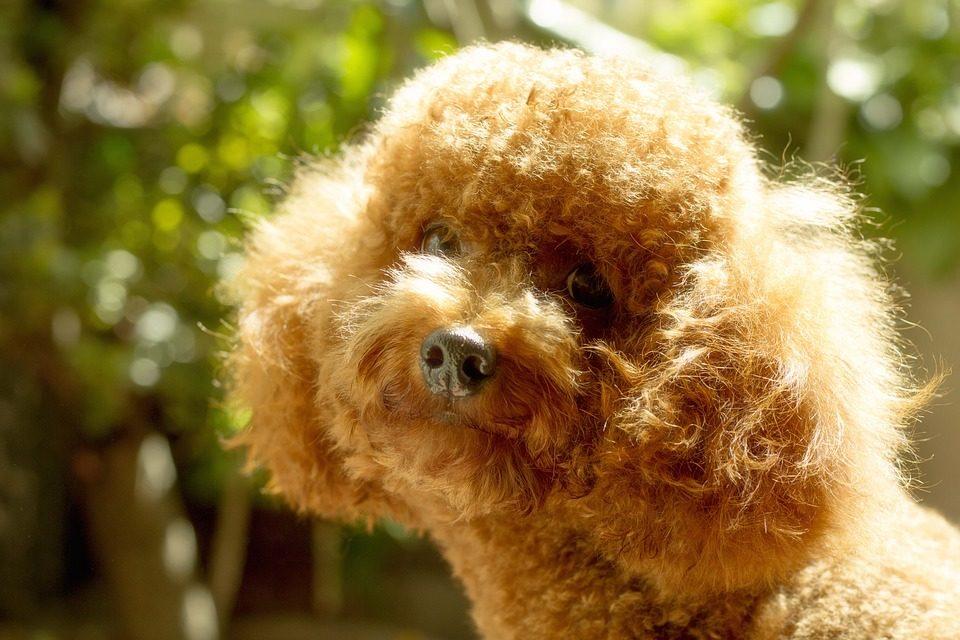 Rendere lucido il pelo del cane