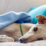 L'anemia nel cane
