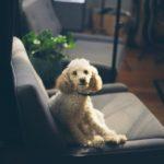 Come curare l'otite nei cani