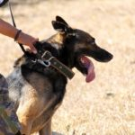 addestramento dei cani antidroga