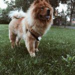 cane con la lingua blu