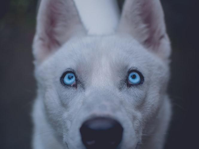 malattie degli occhi del cane