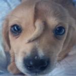 Il cane con la codina sulla fronte