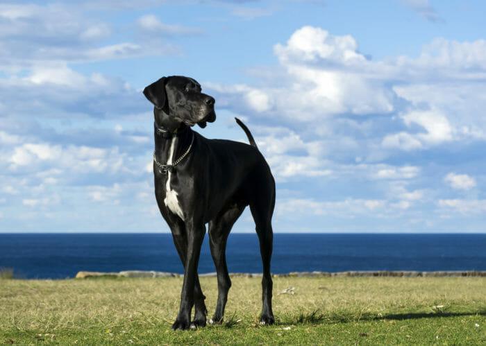il cane più grande del mondo