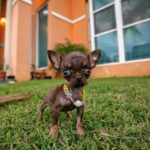 il cane più piccolo del mondo