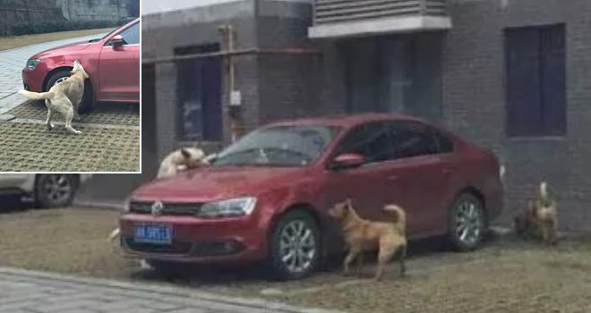 Cane colpito da un calcio chiama i suoi amici e gli distruggono l'auto