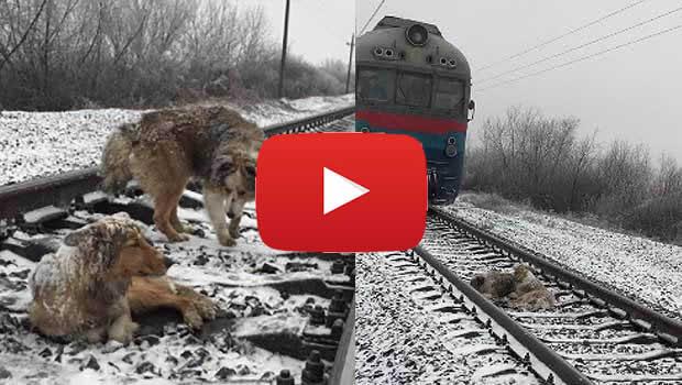cane coraggioso salva compagno ferito dal treno