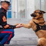 Cane eroe dei marines, premiato con medaglia al merito