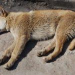 Cane ferito non viene curato dal suo padrone e poi muore. Denunciato