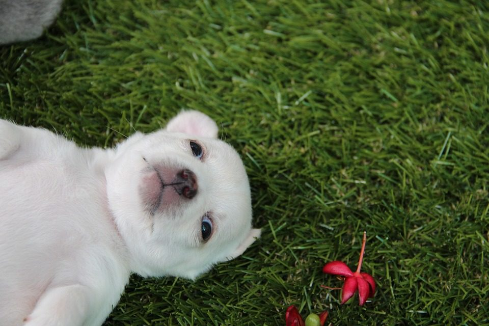 Chihuahua azzannato da un pit bull